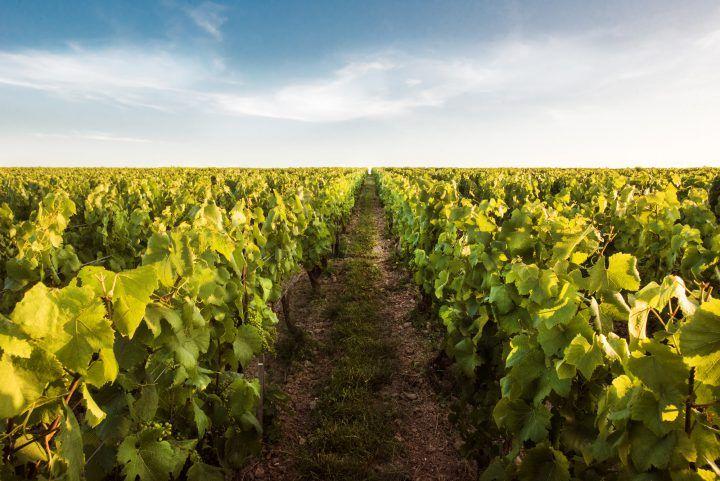 Champagne Vilmart - Vignes